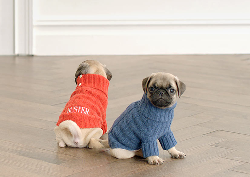 Two pug puppies wear cable-knit sweaters